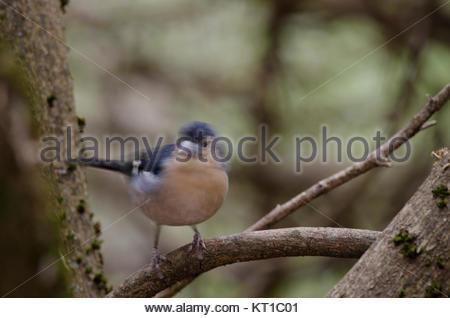 Common chaffinch (Fringilla coelebs canariensis). Male. The Nublo Rural Park. Tejeda. Gran Canaria. Canary Islands. - Stock Photo