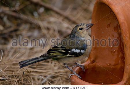 Common chaffinch (Fringilla coelebs canariensis). Second year male. The Nublo Rural Park. Tejeda. Gran Canaria. - Stock Photo