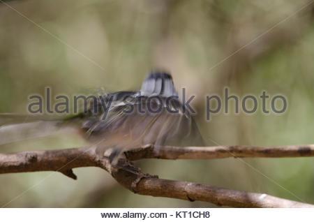 Common chaffinch (Fringilla coelebs canariensis). Male taking flight. The Nublo Rural Park. Tejeda. Gran Canaria. - Stock Photo