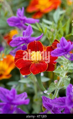 Tagetes patula and Salvias. - Stock Photo
