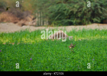 Flying Eurasian Tree Sparrow (Passer montanus) in autumn. Saudi arabia - Stock Photo