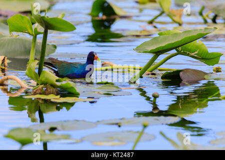 A male Purple Gallinule walking on lily pads in the swamp at Everglades National Park, Florida November 2017 - Stock Photo