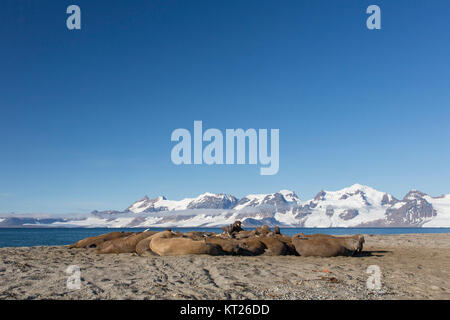 Group of male walruses (Odobenus rosmarus) resting on beach at Phippsøya in Sjuøyane, archipelago north of Nordaustlandet, - Stock Photo