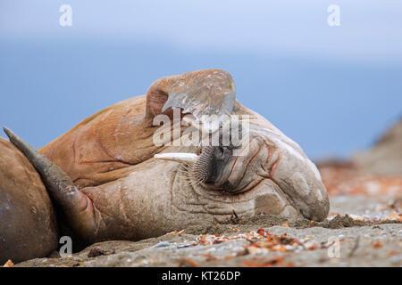 Male walrus (Odobenus rosmarus) resting on beach and scratching head with fore flipper, Svalbard / Spitsbergen, - Stock Photo