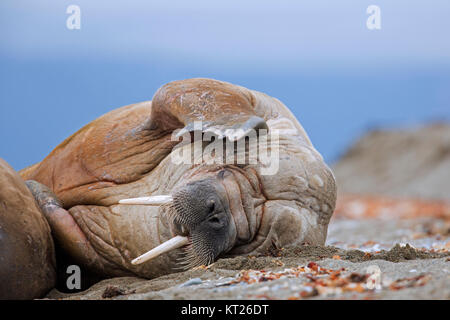 Male walrus (Odobenus rosmarus) resting on beach and scratching head with fore flipper, Svalbard / Spitsbergen, - Stock Photo