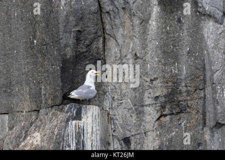 Black-legged kittiwake (Rissa tridactyla) calling from rock ledge in sea cliff face at seabird colony, Svalbard - Stock Photo