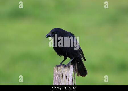 Carrion crow (Corvus corone) perched on wooden fence post along field - Stock Photo