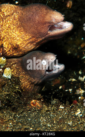 PAIR OF WHITE EYED MOREY EEL (SIDEREA THYRSOIDEA) WITH ONE MISSING AN EYE - Stock Photo