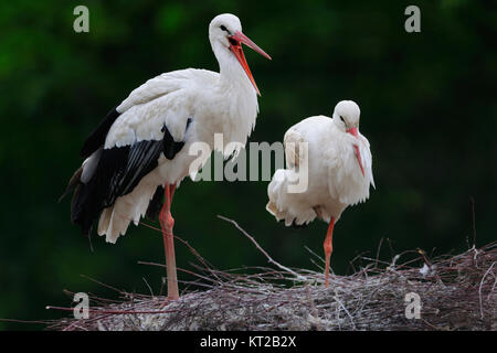 A pair of white stork (Ciconia ciconia) - Stock Photo