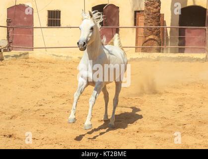 Arabian Horse in a sandy ranch/ featuring Arabian Horse in a sandy field in sunny day - Stock Photo