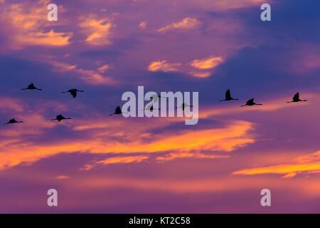 Common Cranes (Grus grus) flock in flight at sunset. Common Crane (Grus grus), also known as the Eurasian Crane.
