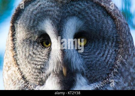 Face close-up of great grey owl - Stock Photo