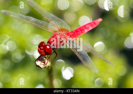 fire dragonfly,red dragonfly - Stock Photo