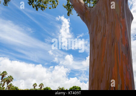 Trunk of a Eucalyptus deglupta tree in Oahu, Hawaii showing the typical peeling of the bark revealing green wood - Stock Photo