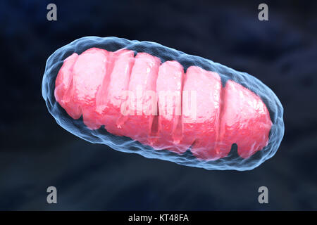 Mitochondrion is a double membrane-bound organelle found in all eukaryotic organisms. 3D illustration - Stock Photo