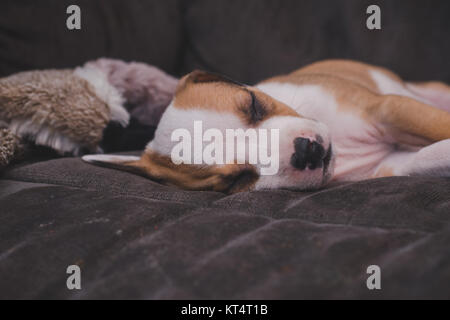A pit bull mix 7 week old puppy sleeps on a gray couch. - Stock Photo