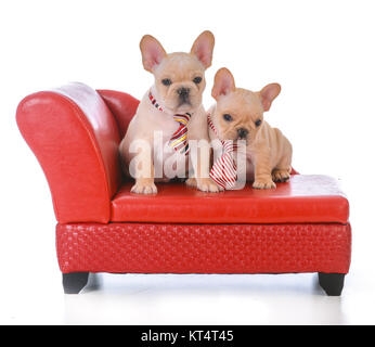 two french bulldog puppies sitting on a red leather couch on white background - Stock Photo