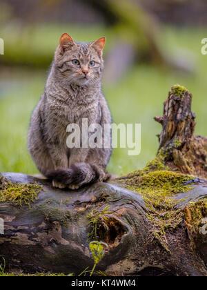 European wild cat (Felis silvestris) with distinctive striped and black tipped tail - Stock Photo