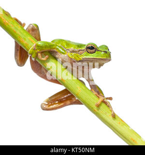 Cute Tree Frog (Hyla arborea) climbing in a diagonal green stick, isolated on white background - Stock Photo