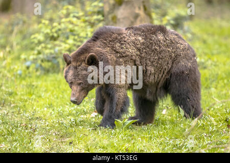 European brown bear ((Ursus arctos) foraging in forest habitat. This is the most widely distributed bear and is - Stock Photo