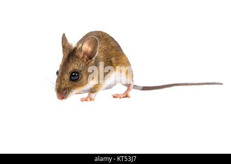 Walking Field mouse with cute brown eyes looking in the camera on white background - Stock Photo