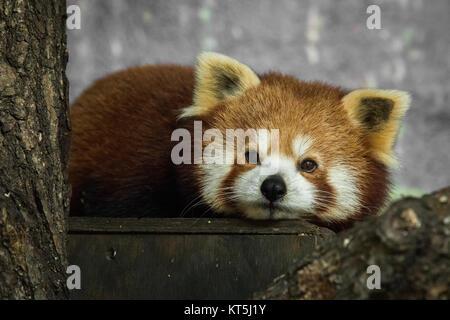 Red panda, Ailurus fulgens, resting inside - Stock Photo