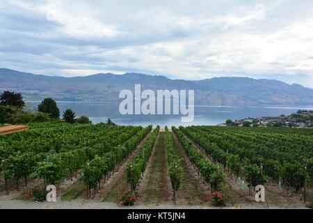 Grape vines row on row in the vineyard by the lake.Quail's Gate vineyard,Kelowna BC,Canada - Stock Photo