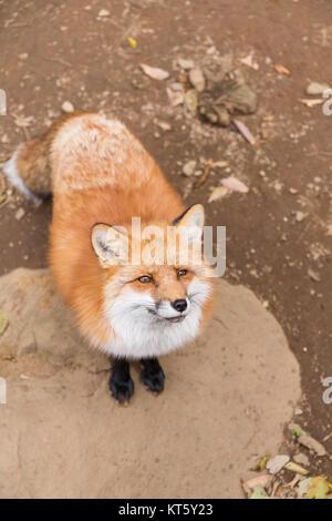 Cute fox - Stock Photo