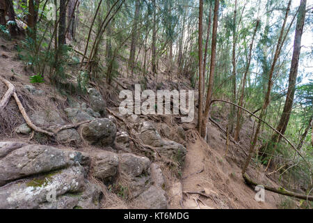 Exposed gnarled roots of trees over rocks in sparse woodland on the Kuliouou Trail, Oahu, Hawaii, a popular tourist - Stock Photo