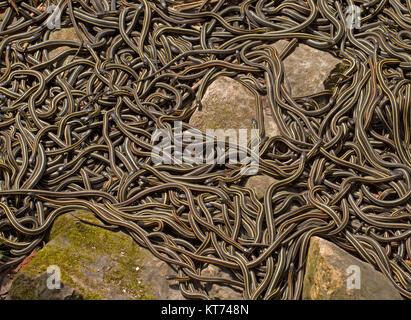 Common garter snake, Thamnophis sirtalis parietalis - Stock Photo