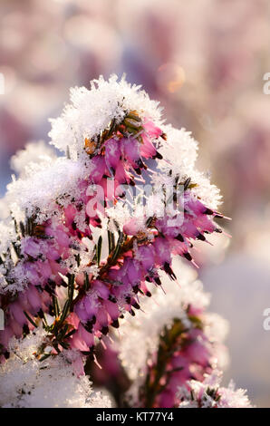 Flowering winter heath, Erica carnea, covered with white frost, a close up of flowers with a coating of ice crystals - Stock Photo