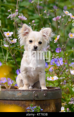 A cute long-haired cream white colored Chihuahua dog puppy sitting in a flowering garden.