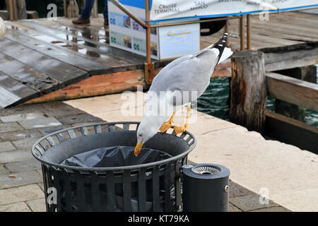 Yellow-legged gull (Larus michahellis) searching for garbage to eat, Venice - Stock Photo