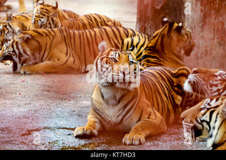 Group of tigers,Thailand - Stock Photo
