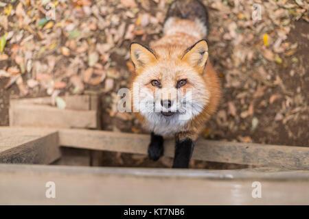Adorable fox climb up - Stock Photo