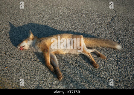 Red fox (Vulpes vulpes) killed on the road, Umbria, Italy - Stock Photo