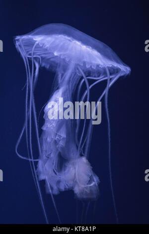Moon Jellyfish - Stock Photo