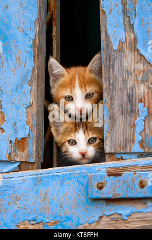 Two curious baby cat kittens peering out of an old blue wooden window shutter with prying eyes, Lesvos, Greece. - Stock Photo