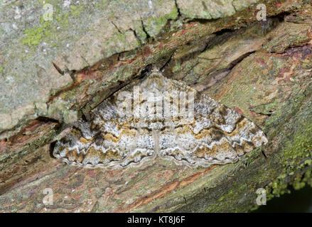 Camouflaged Mottled Beauty Moth (Alcis repandata). Geometridae. Sussex, UK - Stock Photo
