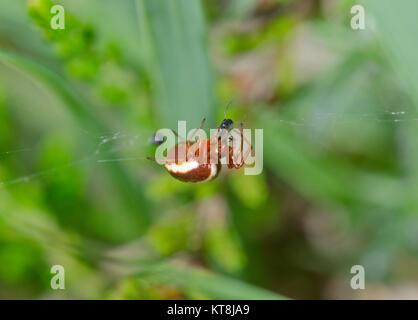 Hypsosinga sanguinea eating prey - Female Orbweaver Spider. Araneidae. Sussex, UK - Stock Photo