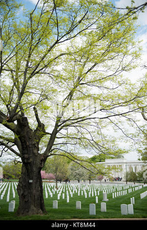 A Yellowwood tree, also Virginia State Champion tree, grows in Section 23, near the Memorial Amphitheater, in Arlington - Stock Photo