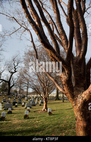 Two Paperbark Maple, also known as an Acer griseum, grows in Arlington National Cemetery Jan. 12, 2017, in Arlington, - Stock Photo