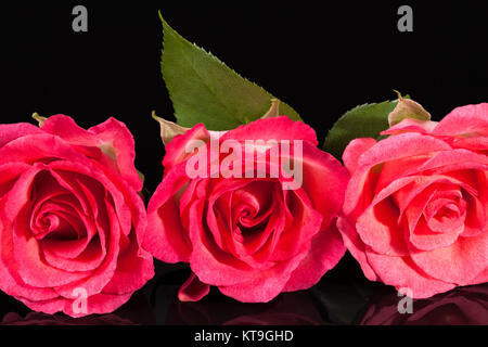 Composition of flowers pink roses on black  background - Stock Photo