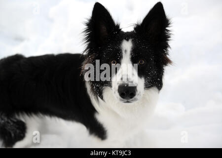 Border Collie dog in the snow 2017 - Stock Photo