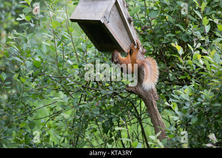 One Red squirrel Sciurus vulgaris at feeding station Scotland July 2017 - Stock Photo
