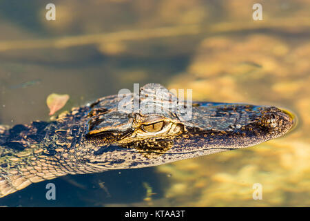 The American alligator (Alligator mississippiensis) is endemic to the southeastern United States of America - Stock Photo