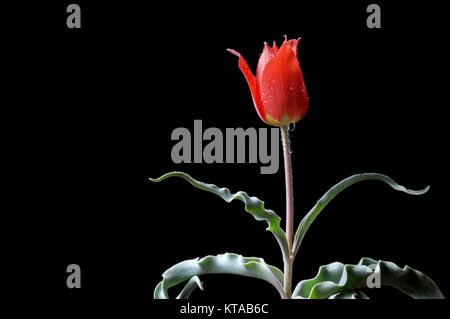Tulips (Tulipa) form a genus of spring-blooming perennial herbaceous bulbiferous geophytes The flowers are usually - Stock Photo