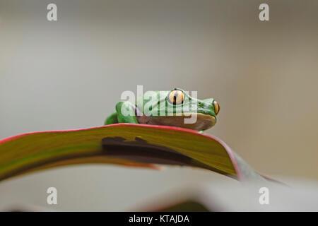 Golden-Eyed Leaf Frog on a Leaf - Stock Photo