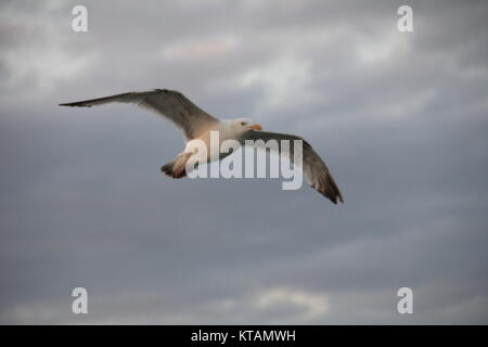 Seagull in Calais - Stock Photo