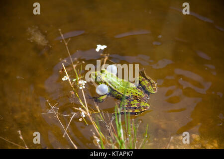 Edible frog, Common water frog (Rana kl. esculenta), also named green frog, in a pond at Middelhagen, Moenchgut, - Stock Photo